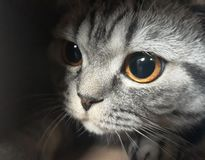 Lovely cat british shorthair cute pets stock images