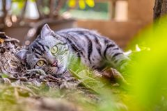 Lovely cat cutie pet American Short Hair cat enjoying in a garden.  royalty free stock image