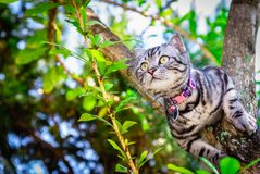 Lovely cat cutie pet American Short Hair cat enjoying in a garden.  stock photography