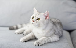 Lovely cat with gray-white hair Stock Image