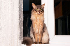 Lovely cat portrait. Portrait of somali cat blue color sits in windowsill Royalty Free Stock Images