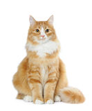 Lovely cat sits isolated on white Royalty Free Stock Photography