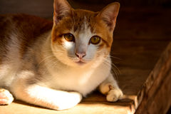 Lovely cat. A lovely cat is waiting for something Royalty Free Stock Images