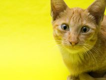 Lovely cat on yellow background. Cat with studio lighting Royalty Free Stock Image