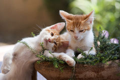Lovely Cats. Two cats brothers having some rest after hours of playing Royalty Free Stock Image