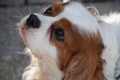 Lovely cavalier king charles looking up royalty free stock photography