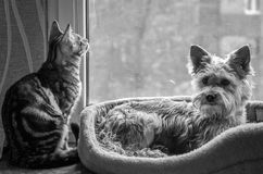 Lovely charming fluffy cat playing with a pretty good dog Stock Photo