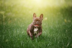 Lovely Cheerful French Bulldog runs along the green grass across. The field in the rays of the bright sun. Dog on the background of nature Royalty Free Stock Photography