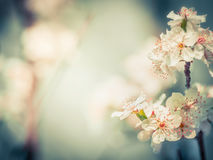 Lovely cherry blossom at blurred springtime outdoor Royalty Free Stock Images