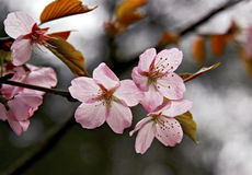 Lovely cherry blossom branches Stock Photo