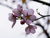 Lovely cherry blossom branches Royalty Free Stock Photo