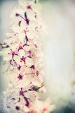 Lovely cherry blossom close up, pastel Royalty Free Stock Image