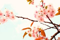 Lovely cherry blossom Stock Image