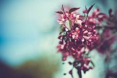 Lovely cherry branch in a spring garden Royalty Free Stock Image