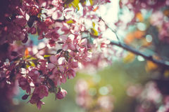 Lovely cherry branch in a spring garden Royalty Free Stock Photography