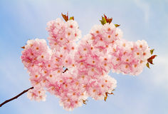 Lovely cherry-flowers in spring. Royalty Free Stock Photography