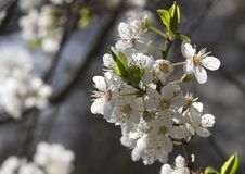 Lovely cherry wood flowers Royalty Free Stock Photo