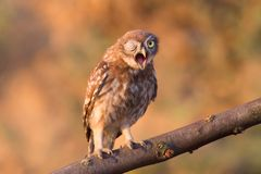 Lovely chick of little owl emotional wink stock images