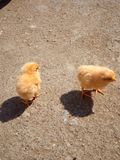 Lovely chicks royalty free stock photos
