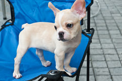 Lovely chihuahua Royalty Free Stock Photography