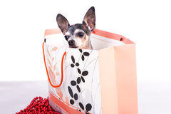 Lovely chihuahua dog in a gift bag Royalty Free Stock Photography