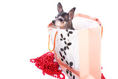 Lovely chihuahua dog in a gift bag Stock Photo