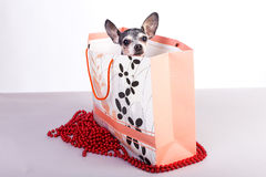Lovely chihuahua dog in a gift bag Stock Photography