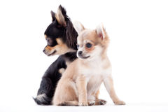 Lovely chihuahua dogs. Happy dog photographed in the studio on a white background royalty free stock images