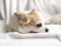 Lovely chihuahua puppy close-up Stock Photo