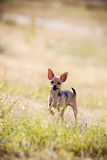 Lovely chihuahua puppy Royalty Free Stock Photos