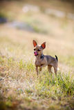 Lovely chihuahua puppy Royalty Free Stock Images