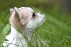 Lovely chihuahua puppy head close-up Stock Image