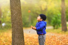 Lovely child catches the maple leaves in the fall during autumn. Sunny day. Cute boy gathers a golden fall leaf on background of autumnal park foliage. Best royalty free stock image