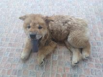 Lovely Chow Chow dog. Long tongue and brown Chow Chow dog lay on the floor Royalty Free Stock Image