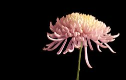 Lovely Chrysanthemum. From the side isolated on black Royalty Free Stock Image