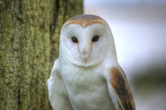 Lovely close up of barn owl with superb detail Royalty Free Stock Photos