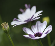 Lovely close up image of White Cape Daisy flower Stock Photo