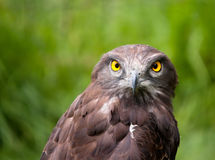 Lovely closeup of a black chested snake eagle Royalty Free Stock Photos