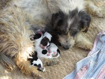 Lovely closeup of a street dog with her puppies Stock Images
