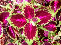 Lovely Coleus Kong Red foliage plant stock photos