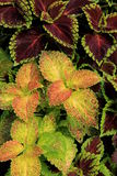 Lovely coleus plants in garden Stock Photos