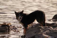 Lovely colle dog paddling in the sea Stock Photography