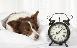 Lovely Collie border breed dog sleeping in bed. Covered with a blanket, an alarm clock is near royalty free stock photos