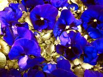 Lovely, colorful blue spring pansies. Flower or card concept royalty free stock photography