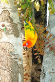 Lovely colorful Sun Conure parrot in the nature Royalty Free Stock Photos
