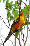 Lovely colorful Sun Conure parrot in the nature Stock Image