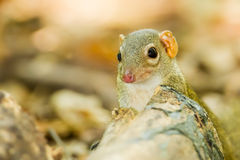 Lovely Common treeshrew. Looking at us Royalty Free Stock Images