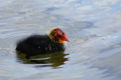 Lovely coot chick. Common coot chick on water Royalty Free Stock Photography