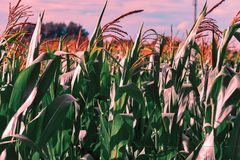 Lovely corn plants against vivid sky color graded in teal and orange - perfect for posters or wall paper.  stock image