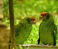 Two parrots together. royalty free stock photography